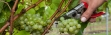 blog life of a grapeRathfinny Estate Harvest
